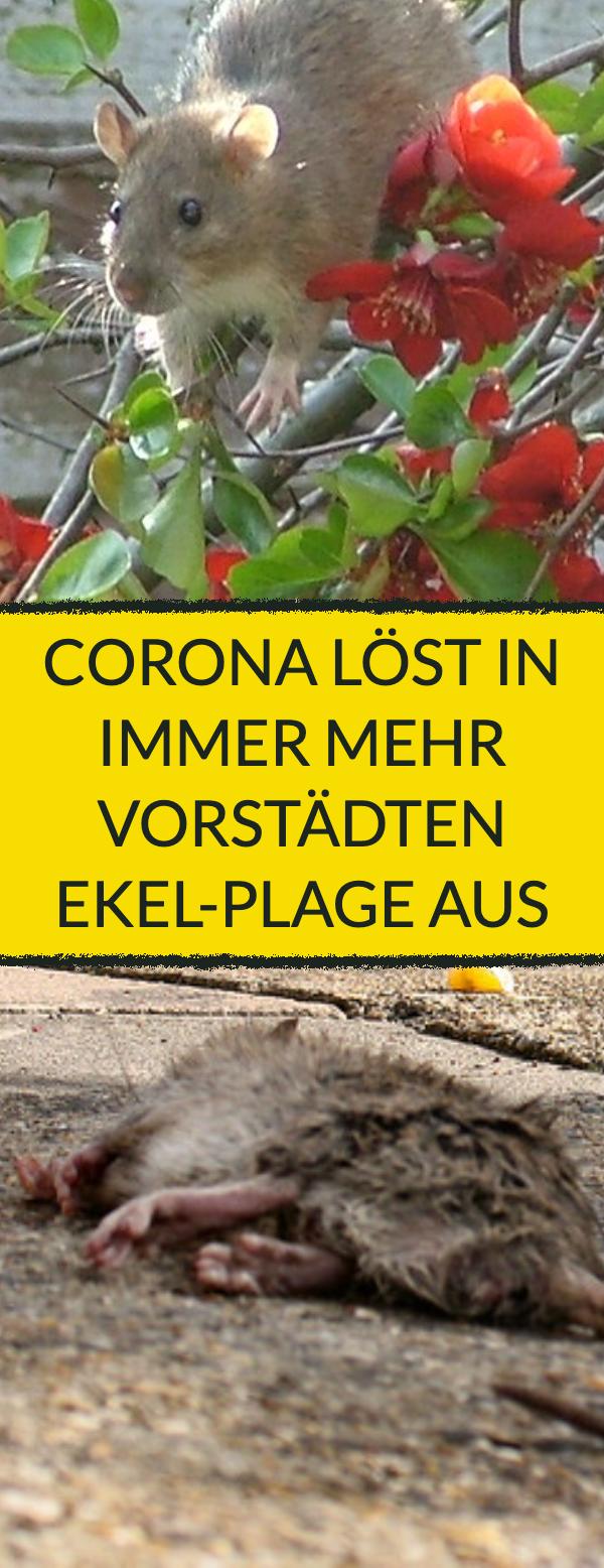 Ratten kommen wegen Corona in die Wohngebiete